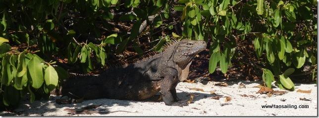 Un habitant de Cayo Iguana