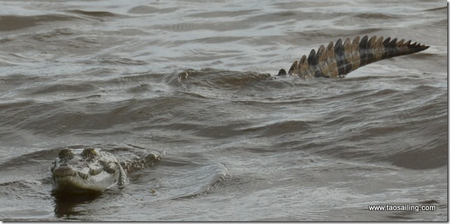 Bébé crocodile d'après les pêcheurs