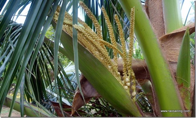 La fleur du cocotier