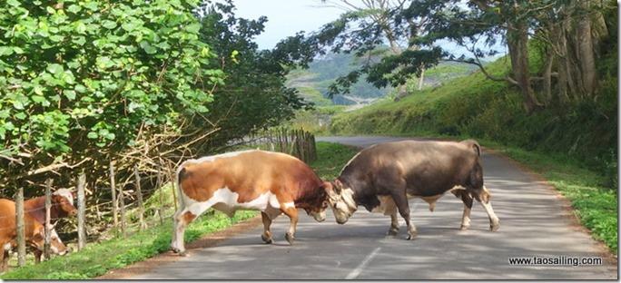 Nuku Hiva - combat de taureaux