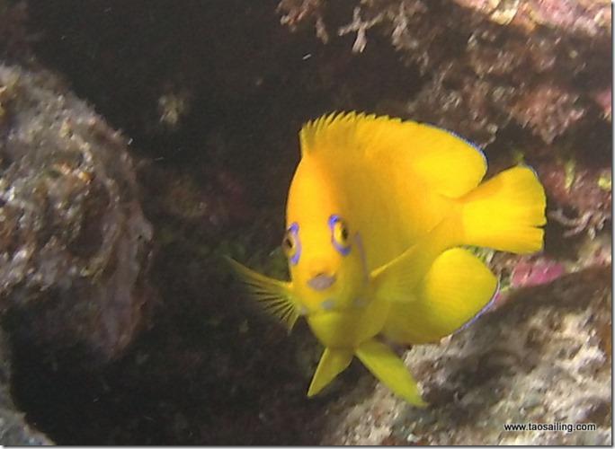 Poisson-ange peau-de-citron